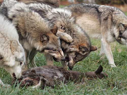 http://borzye.narod.ru/okhota/wolf/wolf3.jpg